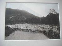 Sheepmob