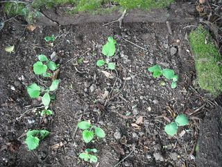 Pumpkinsgrowing