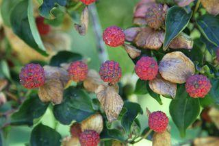 Dogwoodberries