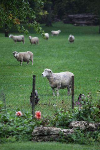 Sheeppetpaddock2