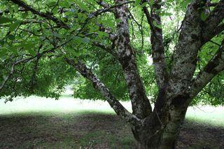 Walnuttreeladen3