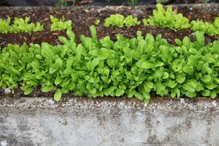Lettucetroughgrowing