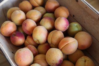Apricotsintrug