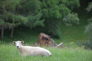 Sheepcropped