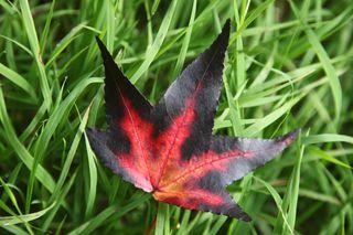 Autumnredleaf