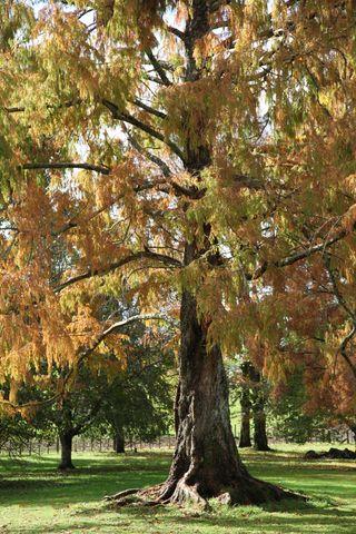 Redwoodautumnsunny