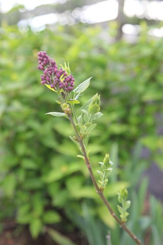 Lilacbudding
