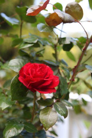 Rose first of season