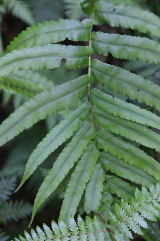 Ferns1