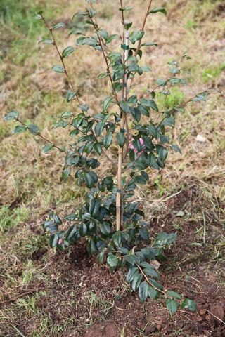 Camelliakoto