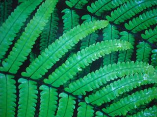 Roadside ferns